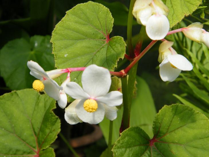 """Begonia grandis ssp. evansiana """"Alba"""""""